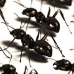 Allontanare le formiche dalla propria abitazione con metodi naturali